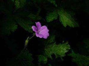 one purple flower on a dark background